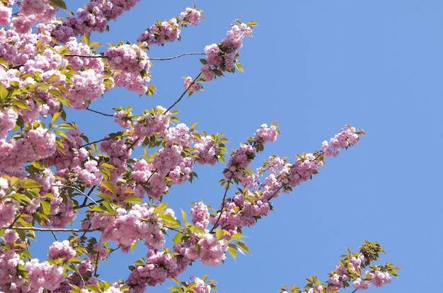 Nahaufnahme der frühlingskirschblume Premium Fotos