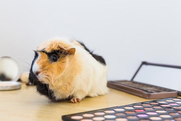 Nahaufnahme der guinea mit augenschminkepalette auf hölzernem schreibtisch gegen weißen hintergrund Kostenlose Fotos