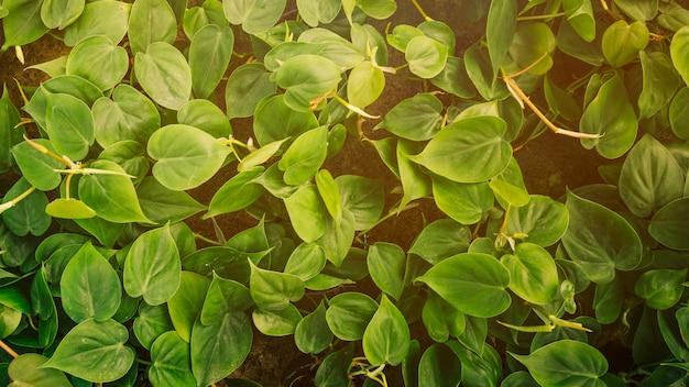 Nahaufnahme der kriechpflanze mit frischen grünen blättern Kostenlose Fotos