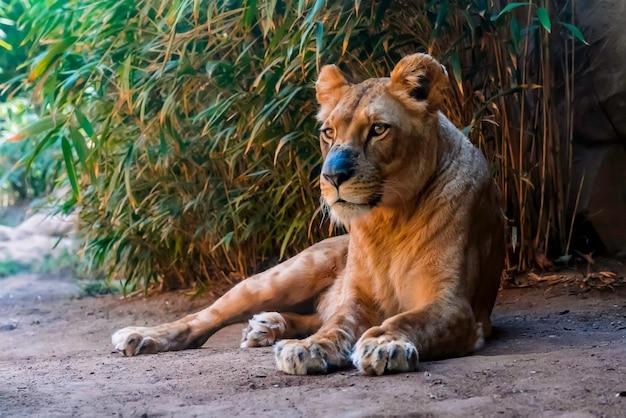 Nahaufnahme der löwin, die auf dem boden liegt Kostenlose Fotos