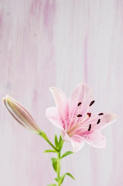 Nahaufnahme der rosa seeroseblume gegen hintergrund Kostenlose Fotos