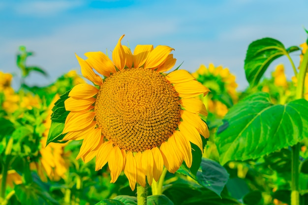 Nahaufnahme der sonnenblume auf dem feld mit hellem himmel Kostenlose Fotos