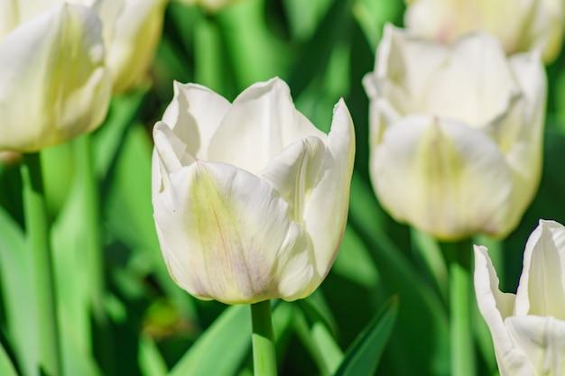 Nahaufnahme der weißen tulpe. blumen hintergrund. sommergartenlandschaft Premium Fotos
