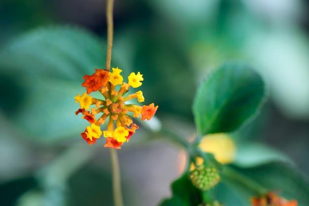 Nahaufnahme der wilden salbeiblume Premium Fotos