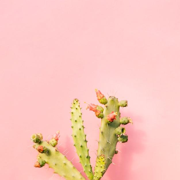 Nahaufnahme des grünen kaktus auf rosa hintergrund Kostenlose Fotos