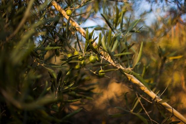 Nahaufnahme des hölzernen steuerknüppels auf olivenbaum Kostenlose Fotos