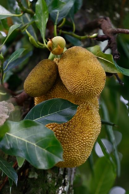 Nahaufnahme des jackfruchtbaums mit reifen früchten Premium Fotos