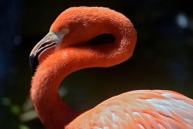 Nahaufnahme des karibischen flamingos auf dem see Premium Fotos