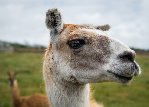Nahaufnahme des kopfes eines lamas Kostenlose Fotos