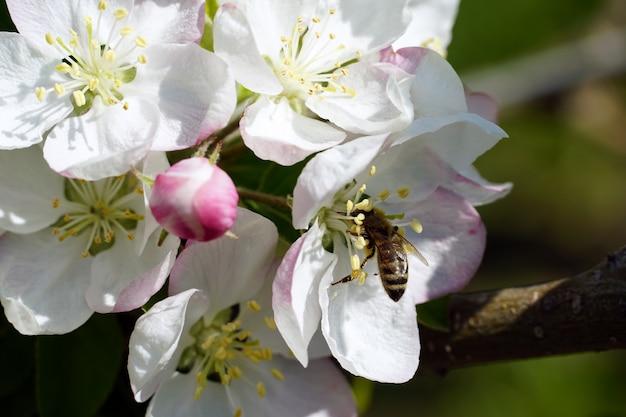 Nahaufnahme einer biene, die nektar von einer weißen kirschblütenblume an einem sonnigen tag sammelt Kostenlose Fotos