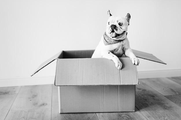 Nahaufnahme einer französischen bulldogge Kostenlose Fotos