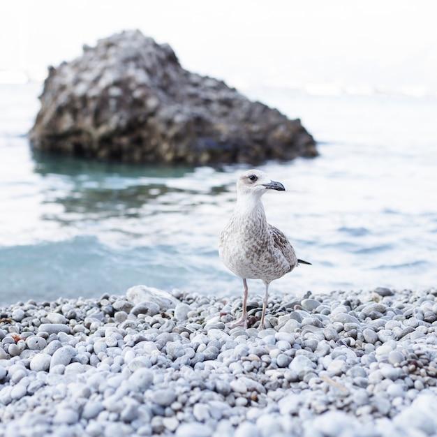 Nahaufnahme einer seemöwe auf küste am pebble beach Kostenlose Fotos