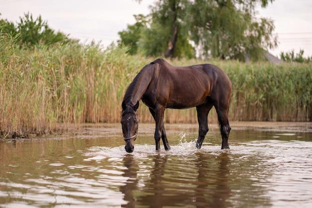 Nahaufnahme eines dunklen pferds trinkt wasser von einem see Premium Fotos