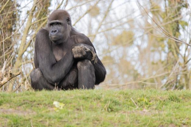 Nahaufnahme eines gorillas, der bequem auf einem hügel sitzt und träumerisch fern schaut Kostenlose Fotos
