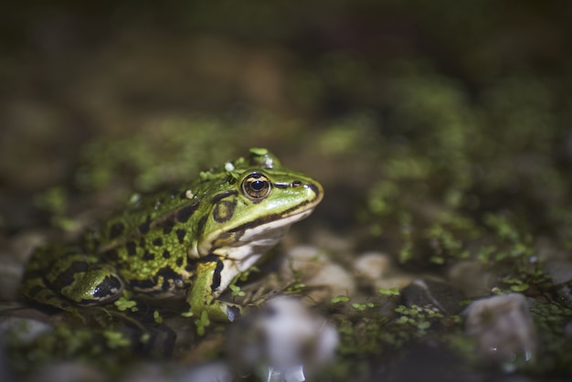 Nahaufnahme eines grünen frosches, der auf moosbedeckten kieselsteinen sitzt Kostenlose Fotos