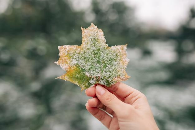 Nahaufnahme eines grünen und gelben ahornblattes bedeckt mit schnee in der hand einer jungen frau. Premium Fotos