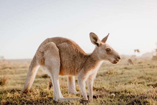 Nahaufnahme eines kängurus in einem trockenen grasfeld mit einem unscharfen hintergrund Kostenlose Fotos