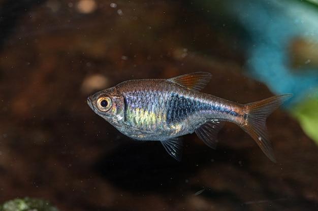 Nahaufnahme eines kleinen silbernen und grauen fisches im aquarium Kostenlose Fotos