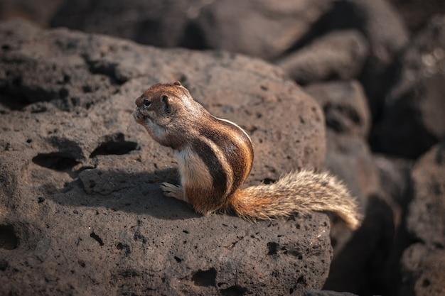 Nahaufnahme eines niedlichen wilden eichhörnchens, das etwas auf einem felsen isst Kostenlose Fotos