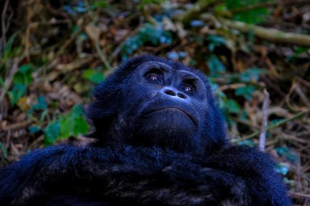 Nahaufnahme eines orang-utans, der nach oben schaut Kostenlose Fotos