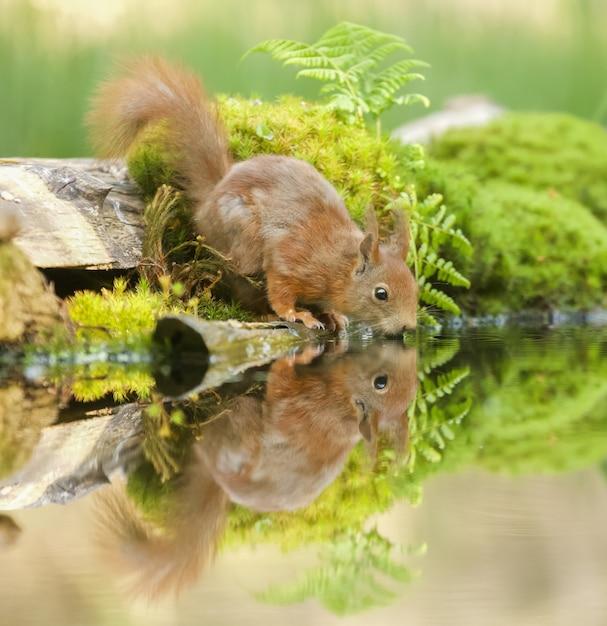 Nahaufnahme eines roten eichhörnchens in der nähe des wassers mit seiner reflexion sichtbar Kostenlose Fotos