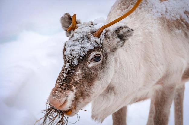 Nahaufnahme eines schönen hirsches auf dem schneebedeckten boden im wald im winter Kostenlose Fotos