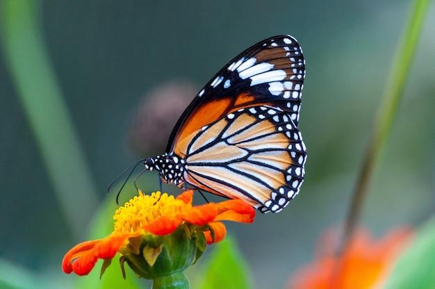 Nahaufnahme eines schönen schmetterlings mit interessanten texturen auf einer orangeblättrigen blume Kostenlose Fotos
