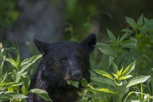 Nahaufnahme eines schwarzen bären, der blätter unter dem sonnenlicht mit einem verschwommenen hintergrund isst Kostenlose Fotos
