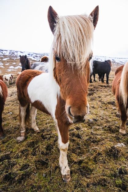 Nahaufnahme eines shetlandponys in einem feld, das im gras und im schnee unter einem bewölkten himmel in island bedeckt ist Kostenlose Fotos