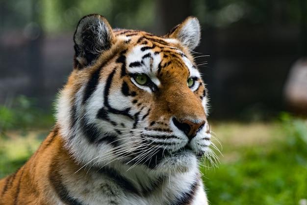 Nahaufnahme eines sibirischen tigers in einem dschungel Kostenlose Fotos