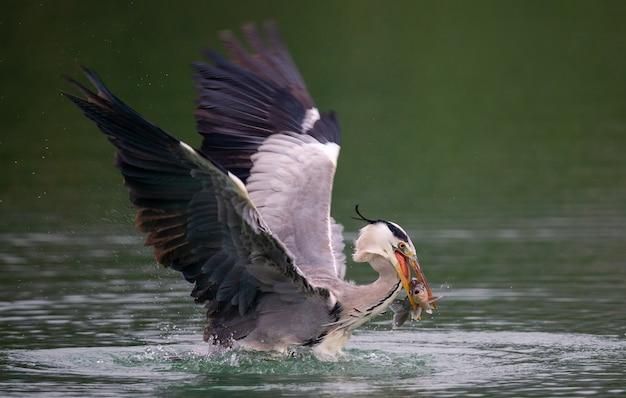 Nahaufnahme eines vogels von ardea herodias, der über einem see fischt - perfekt für hintergrund Kostenlose Fotos