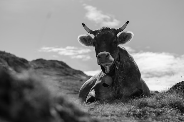 Nahaufnahme graustufenaufnahme einer kuh, die in einem feld liegt Kostenlose Fotos