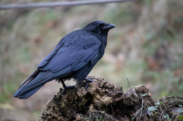 Nahaufnahme landschaftsaufnahme einer schwarzen krähe, die auf dem felsen mit einer unschärfe steht Kostenlose Fotos