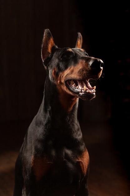 Nahaufnahme-lustiges porträt des dobermann-hundes Premium Fotos