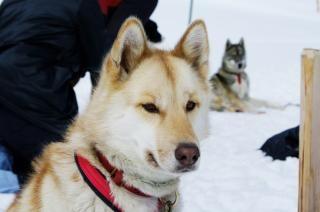 Nahaufnahme mit einem husky, schlittenhund Kostenlose Fotos