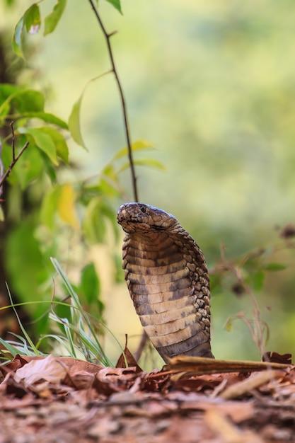 Nahaufnahme monocellate cobra Premium Fotos
