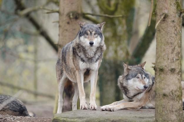 Nahaufnahme schuss des wolfes, der auf einem felsen steht Kostenlose Fotos