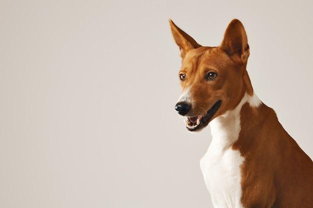 Nahaufnahme schuss eines alarmierenden freundlichen braunen und weißen basenji-hundes Kostenlose Fotos