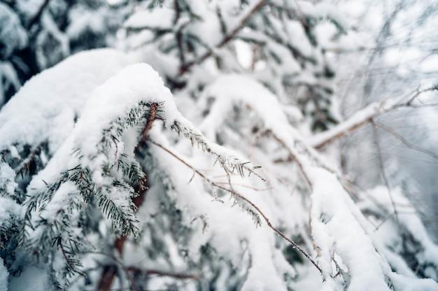 Nahaufnahme schuss fichte mit schnee bedeckt Kostenlose Fotos