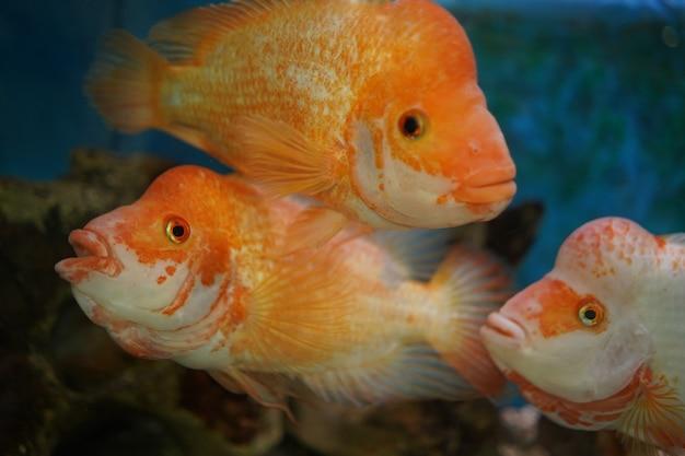 Nahaufnahme schuss von buntbarschen schwimmt im aquarium Kostenlose Fotos
