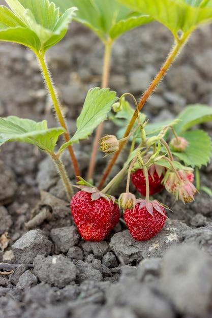 Nahaufnahme süße erdbeeren bereit zum sammeln Kostenlose Fotos