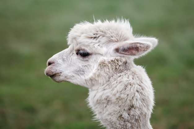 Nahaufnahme von alpaka auf der farm Premium Fotos