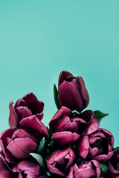 Nahaufnahme von dunklen purpurroten tulpen auf türkishintergrund Kostenlose Fotos