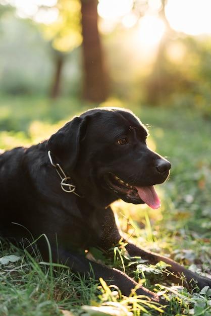 Nahaufnahme von einem schwarzen labrador, der heraus die zunge liegt, die auf gras liegt Kostenlose Fotos