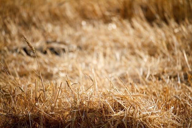 Nahaufnahme von einzelnen weizenähren gegen einen hintergrund der unscharfen stoppeln von einem weizenfeld Premium Fotos