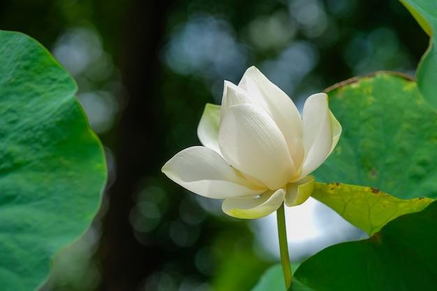 Nahaufnahme von hellen blumenblättern des weißen lotos Premium Fotos