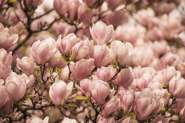 Nahaufnahme von magnolienbäumen bedeckt mit blumen unter dem sonnenlicht Kostenlose Fotos