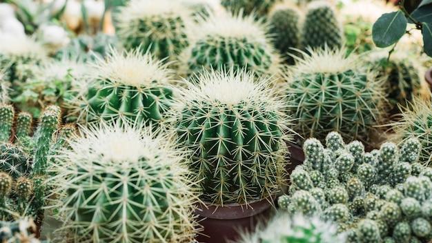 Nahaufnahme von scharfen dornigen kaktuspflanzen Kostenlose Fotos