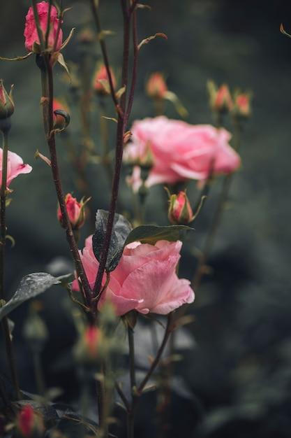 Nahaufnahme von schönen rosen Kostenlose Fotos