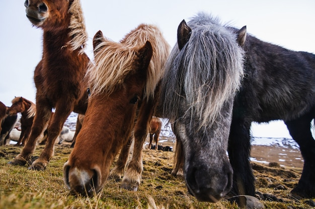 Nahaufnahme von shetlandponys in einem feld, das im gras und im schnee unter einem bewölkten himmel in island bedeckt ist Kostenlose Fotos